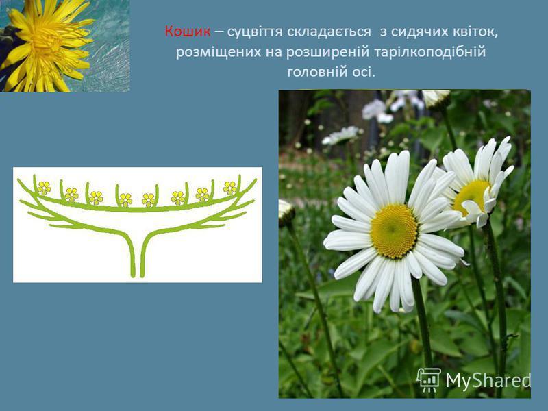 Кошик – суцвіття складається з сидячих квіток, розміщених на розширеній тарілкоподібній головній осі.