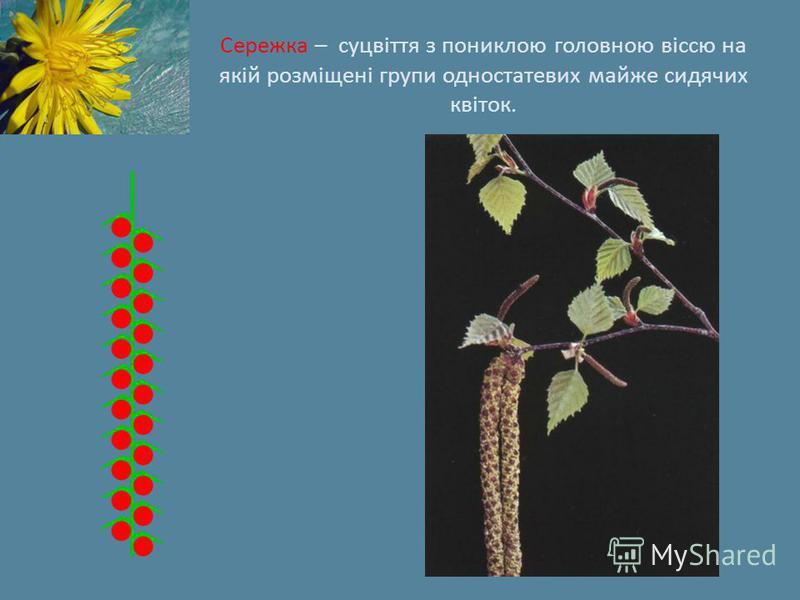 Сережка – суцвіття з пониклою головною віссю на якій розміщені групи одностатевих майже сидячих квіток.