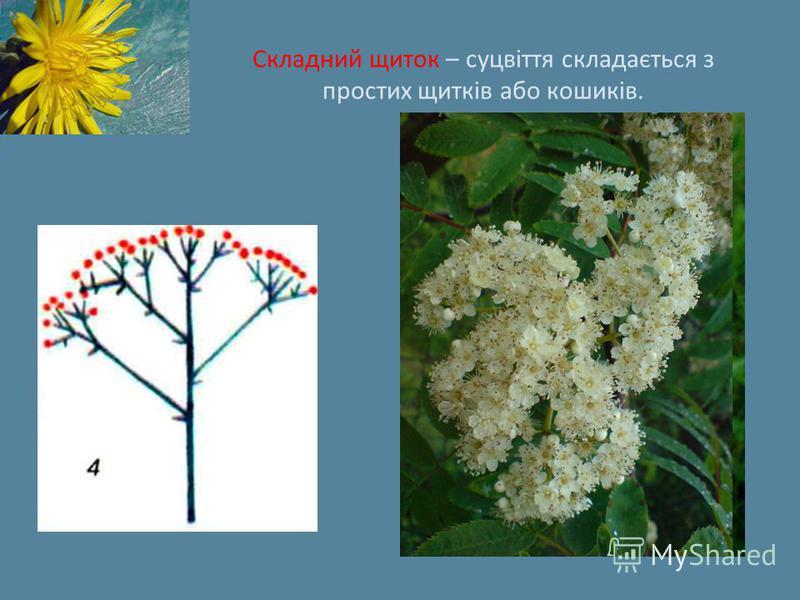 Складний щиток – суцвіття складається з простих щитків або кошиків.