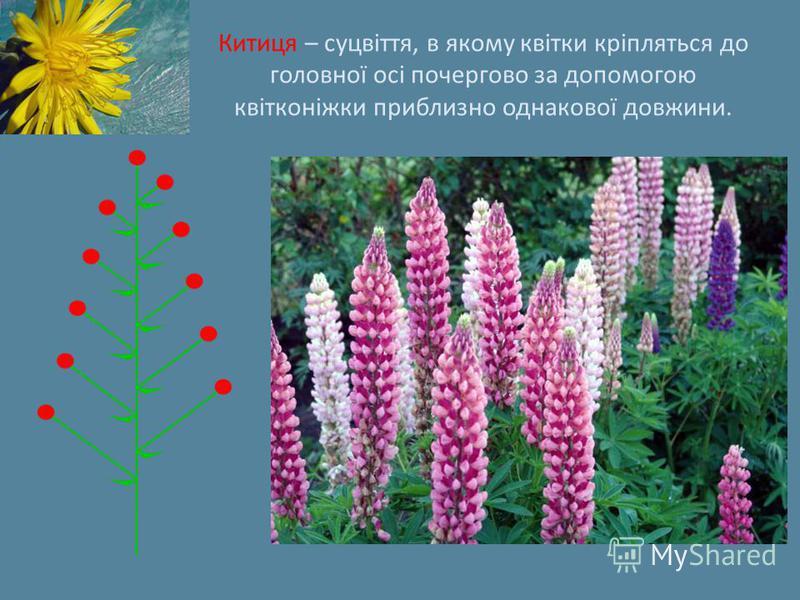 Китиця – суцвіття, в якому квітки кріпляться до головної осі почергово за допомогою квітконіжки приблизно однакової довжини.