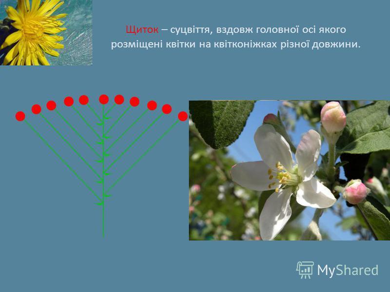 Щиток – суцвіття, вздовж головної осі якого розміщені квітки на квітконіжках різної довжини.