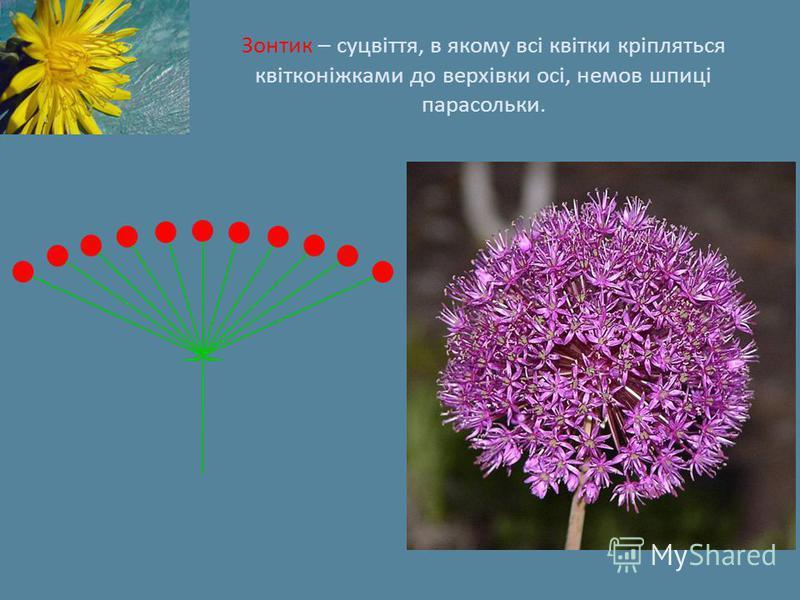 Зонтик – суцвіття, в якому всі квітки кріпляться квітконіжками до верхівки осі, немов шпиці парасольки.