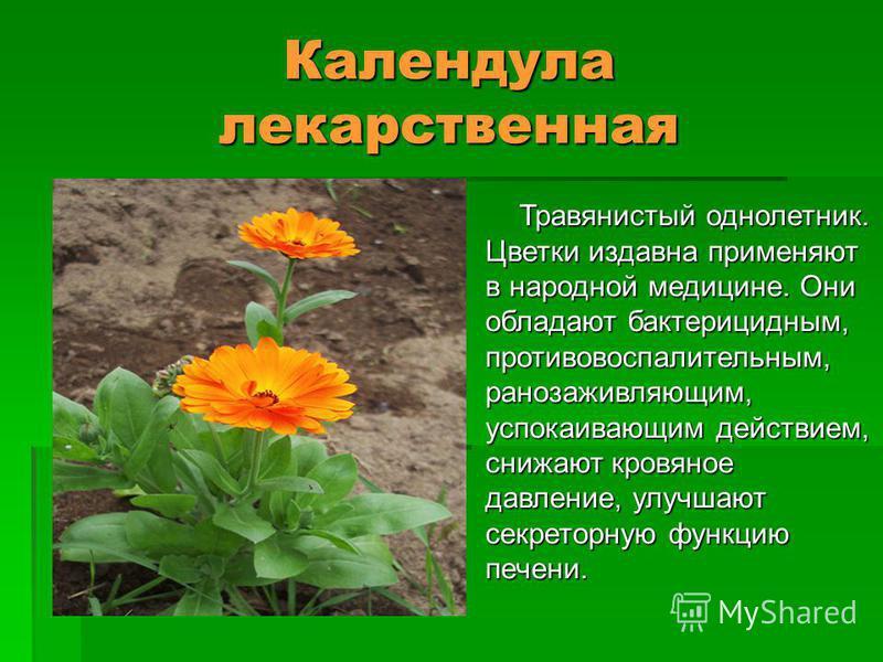 Календула лекарственная Травянистый однолетник. Цветки издавна применяют в народной медицине. Они обладают бактерицидным, противовоспалительным, ранозаживляющим, успокаивающим действием, снижают кровяное давление, улучшают секреторную функцию печени.