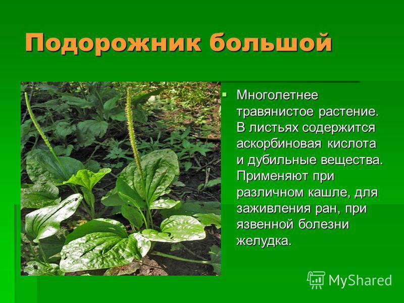 Подорожник большой Многолетнее травянистое растение. В листьях содержится аскорбиновая кислота и дубильные вещества. Применяют при различном кашле, для заживления ран, при язвенной болезни желудка. Многолетнее травянистое растение. В листьях содержит