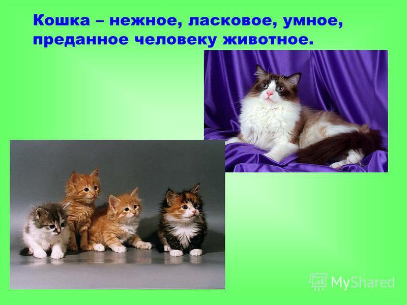 Кошка – нежное, ласковое, умное, преданное человеку животное.