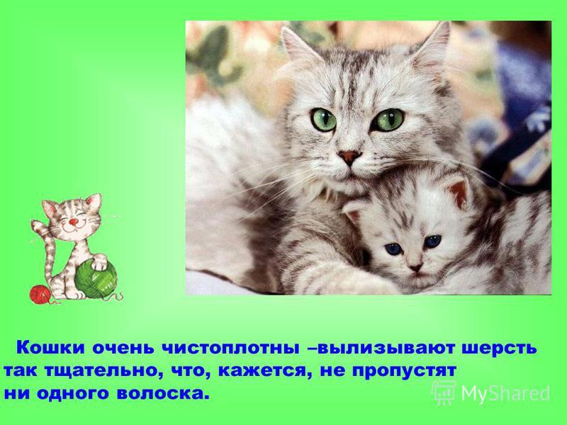 Кошки очень чистоплотны –вылизывают шерсть так тщательно, что, кажется, не пропустят ни одного волоска.