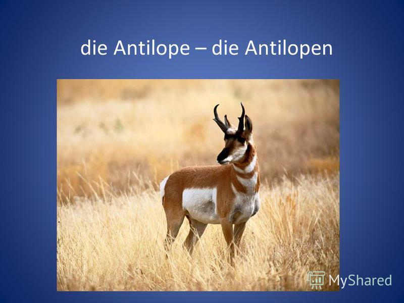die Antilope – die Antilopen