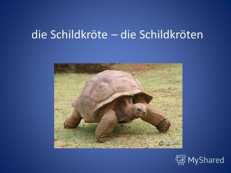 die Schildkröte – die Schildkröten