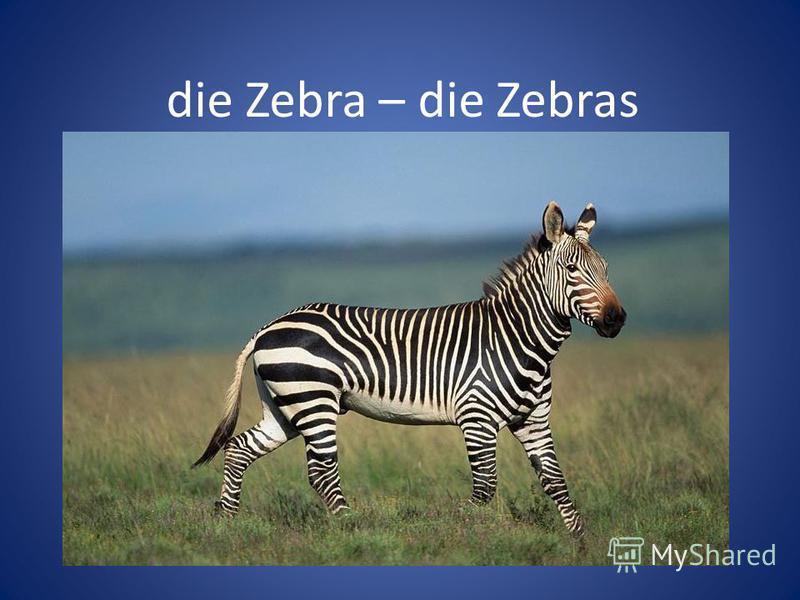 die Zebra – die Zebras
