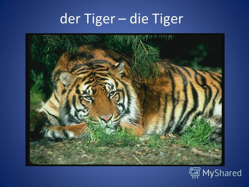 der Tiger – die Tiger