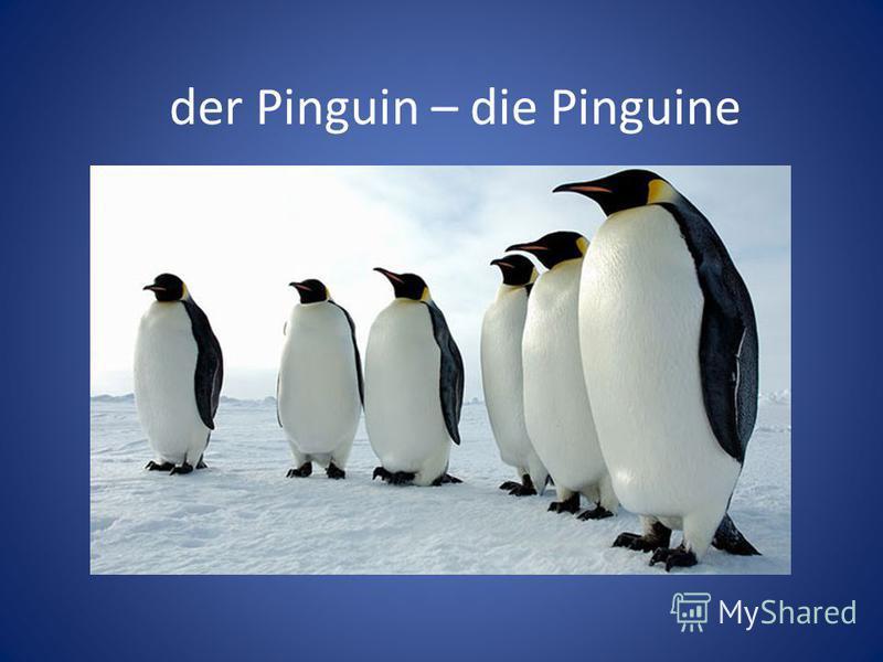der Pinguin – die Pinguine