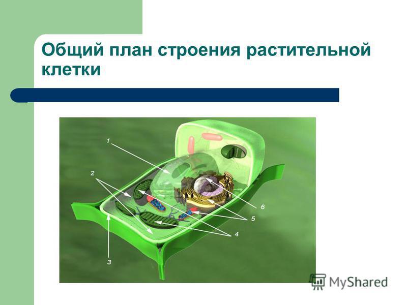 Общий план строения растительной клетки