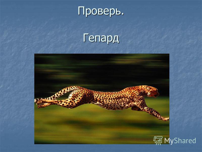 Проверь. Гепард