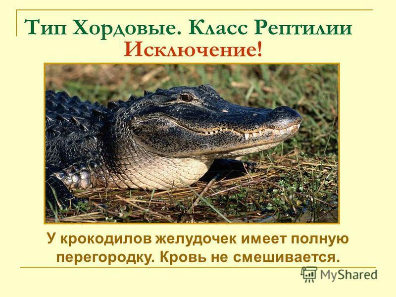 Тип Хордовые. Класс Рептилии Исключение! У крокодилов желудочек имеет полную перегородку. Кровь не смешивается.