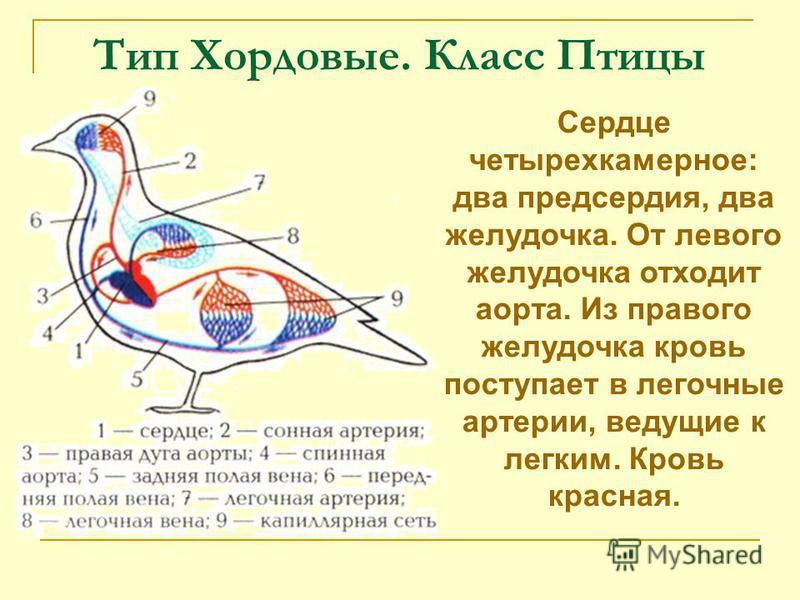 Тип Хордовые. Класс Птицы Сердце четырехкамерное: два предсердия, два желудочка. От левого желудочка отходит аорта. Из правого желудочка кровь поступает в легочные артерии, ведущие к легким. Кровь красная.