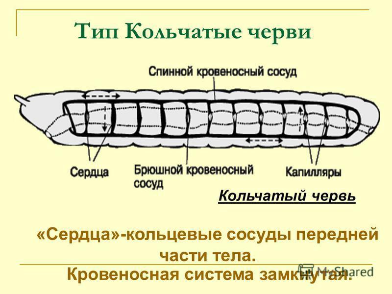 Тип Кольчатые черви Кровеносная система замкнутая. Кольчатый червь «Сердца»-кольцевые сосуды передней части тела.