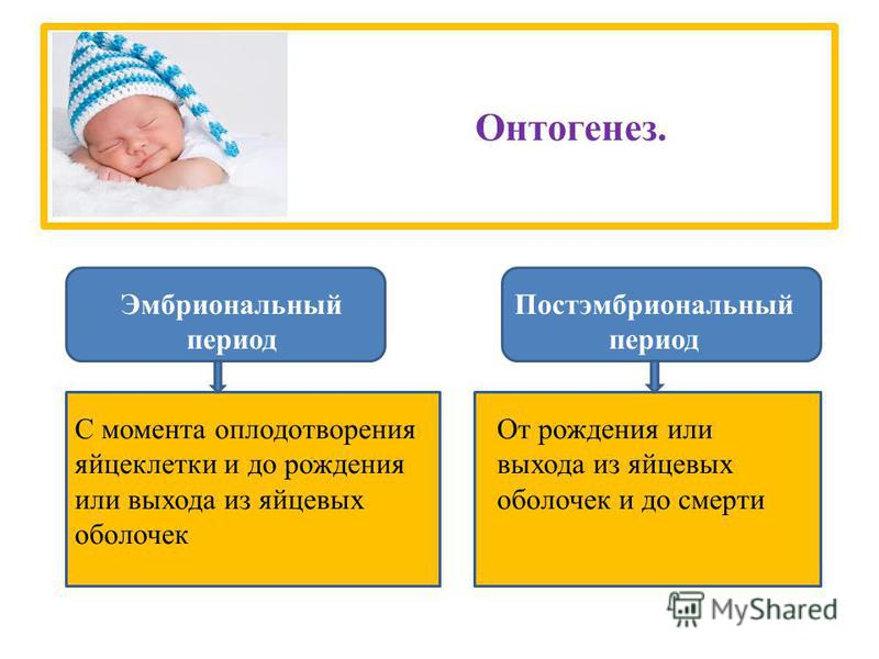 Онтогенез. Эмбриональный период Постэмбриональный период С момента оплодотворения яйцеклетки и до рождения или выхода из яйцевых оболочек От рождения или выхода из яйцевых оболочек и до смерти