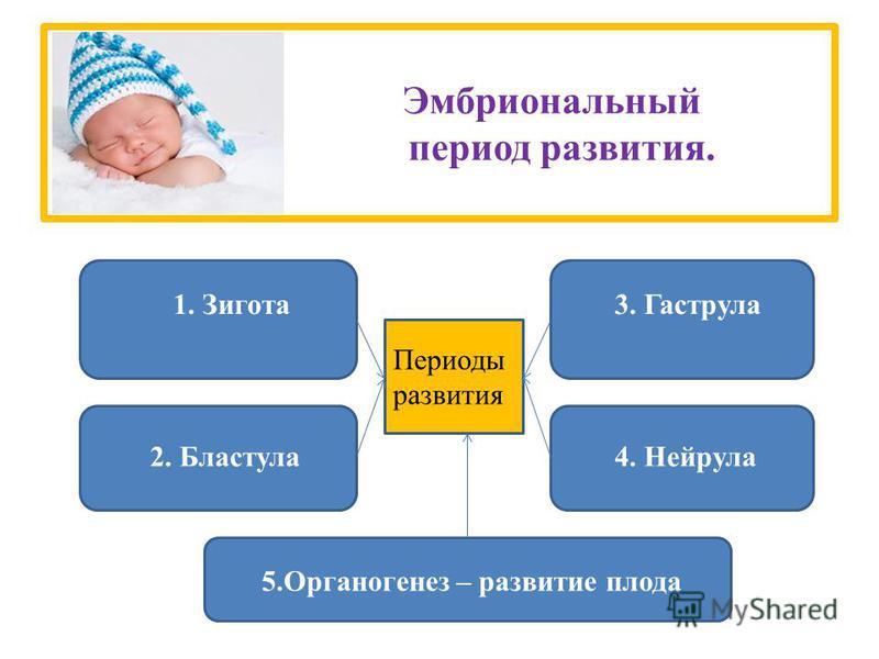 Эмбриональный период развития. 1. Зигота 2. Бластула 3. Гаструла 4. Нейрула 5. Органогенез – развитие плода Периоды развития