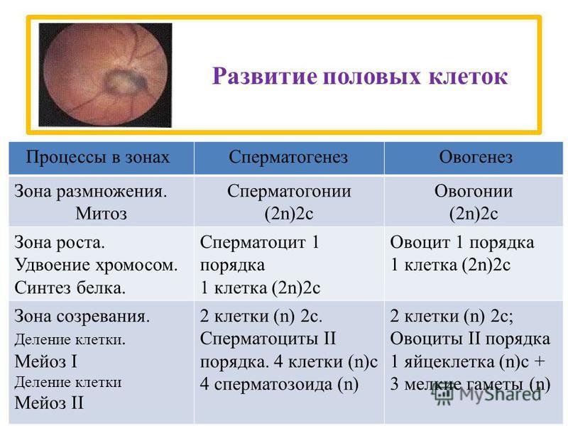 Развитие половых клеток Зона размножения. Митоз Сперматогонии (2n)2 с Овогонии (2n)2 с Зона роста. Удвоение хромосом. Синтез белка. Сперматоцит 1 порядка 1 клетка (2n)2 с Овоцит 1 порядка 1 клетка (2n)2 с Зона созревания. Деление клетки. Мейоз I Деле
