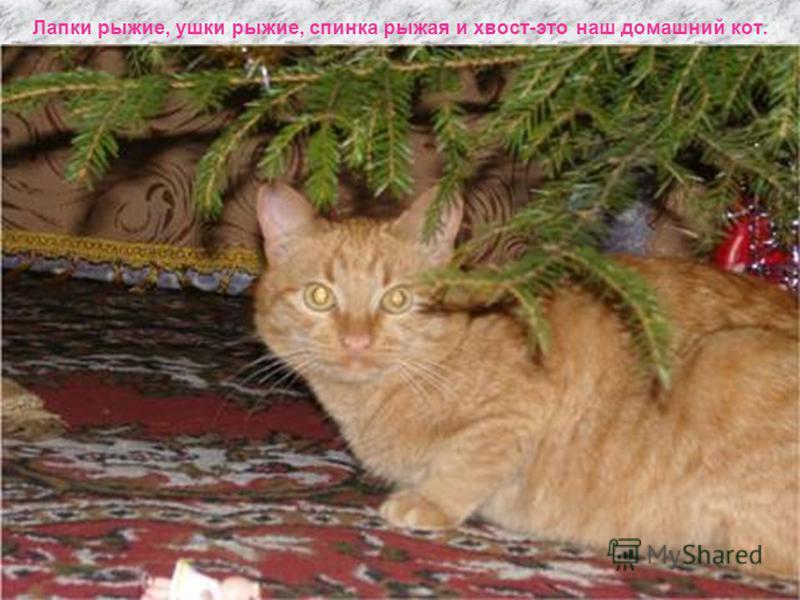 Лапки рыжие, ушки рыжие, спинка рыжая и хвост-это наш домашний кот.