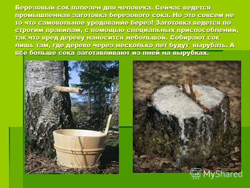 Березовый сок полезен для человека. Сейчас ведется промышленная заготовка березового сока. Но это совсем не то что самовольное уродование берез! Заготовка ведется по строгим правилам, с помощью специальных приспособлений, так что вред дереву наноситс