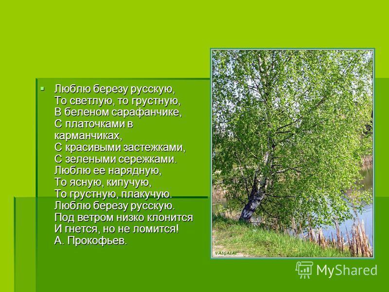 Люблю березу русскую, То светлую, то грустную, В беленом сарафанчике, С платочками в карманчиках, С красивыми застежками, С зелеными сережками. Люблю ее нарядную, То ясную, кипучую, То грустную, плакучую. Люблю березу русскую. Под ветром низко клонит