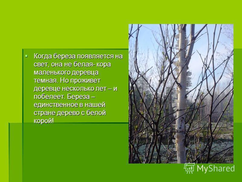 Когда береза появляется на свет, она не белая- кора маленького деревца темная. Но проживет деревце несколько лет – и побелеет. Береза – единственное в нашей стране дерево с белой корой! Когда береза появляется на свет, она не белая- кора маленького д