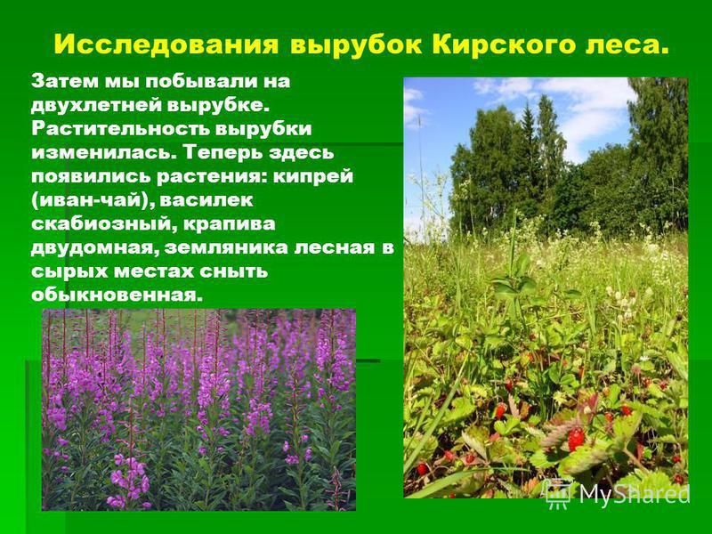 Исследования вырубок Кирского леса. Затем мы побывали на двухлетней вырубке. Растительность вырубки изменилась. Теперь здесь появились растения: кипрей (иван-чай), василек скабиозный, крапива двудомная, земляника лесная в сырых местах сныть обыкновен