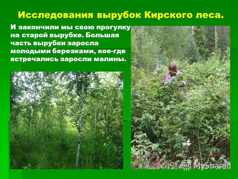 Исследования вырубок Кирского леса. И закончили мы свою прогулку на старой вырубке. Большая часть вырубки заросла молодыми березками, кое-где встречались заросли малины.