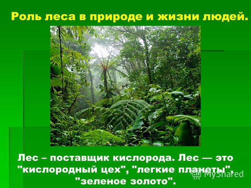 Лес – поставщик кислорода. Лес это кислородный цех, легкие планеты, зеленое золото. Роль леса в природе и жизни людей.
