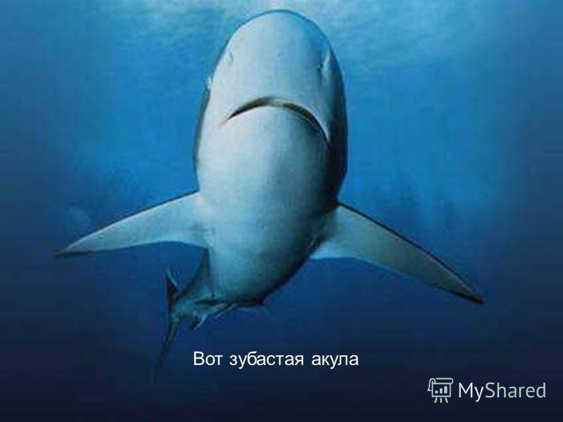 Вот зубастая акула