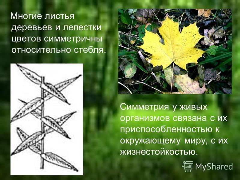 Многие листья деревьев и лепестки цветов симметричны относительно стебля. Симметрия у живых организмов связана с их приспособленностью к окружающему миру, с их жизнестойкостью.