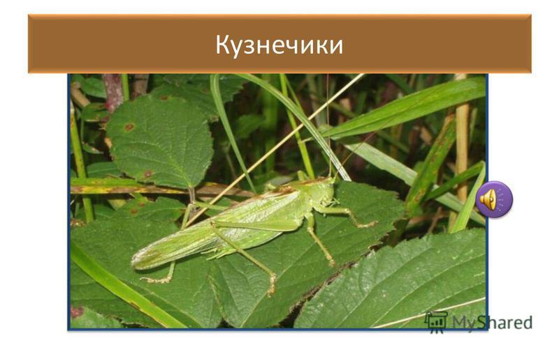 Мимикрия прямокрылых МИМИКРИЯ - подражательное сходство некоторых животных, главным образом насекомых, с другими видами, обеспечивающее защиту от врагов.