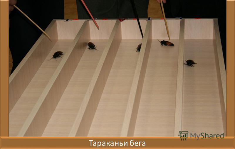 Это интересно! Тараканы способны не дышать до 40 минут, чтобы не испарять имеющуюся в организме воду при отсутствии возможности её восполнения; Существует такое развлечение как тараканьи бега; Многие виды тараканов могут летать, в чём легко убедиться