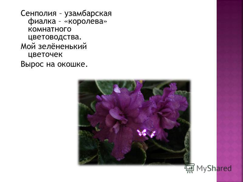 Сенполия – узамбарская фиалка – «королева» комнатного цветоводства. Мой зелёненький цветочек Вырос на окошке.