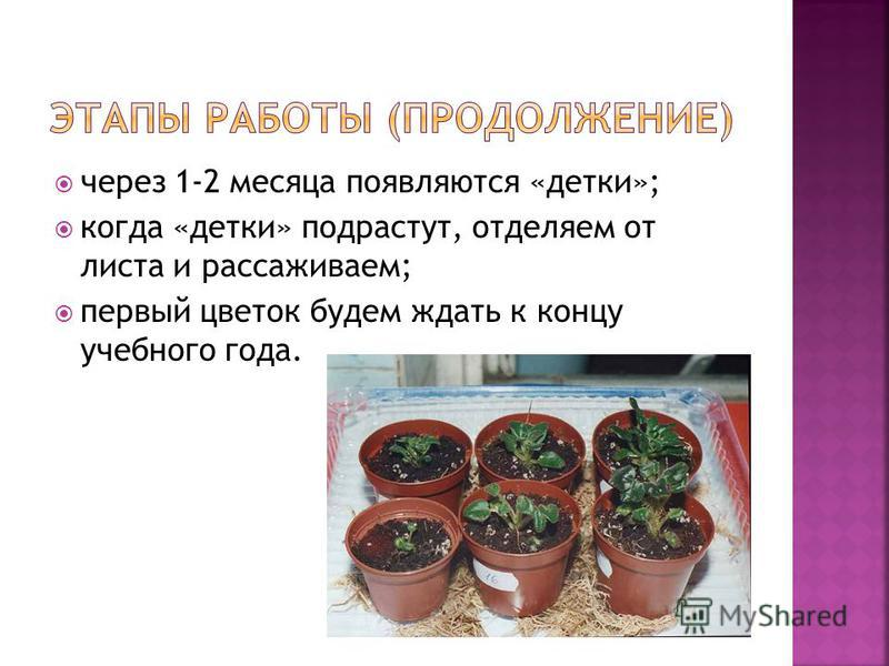 через 1-2 месяца появляются «детки»; когда «детки» подрастут, отделяем от листа и рассаживаем; первый цветок будем ждать к концу учебного года.