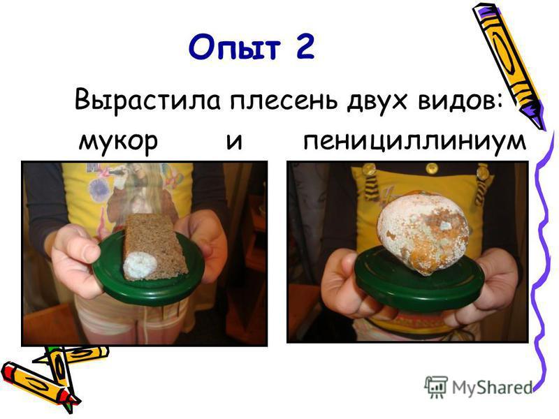 Опыт 2 Вырастила плесень двух видов: мукор и пенициллиниум