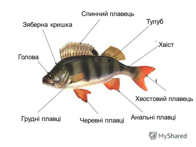 Функції плавців : спинний і анальний
