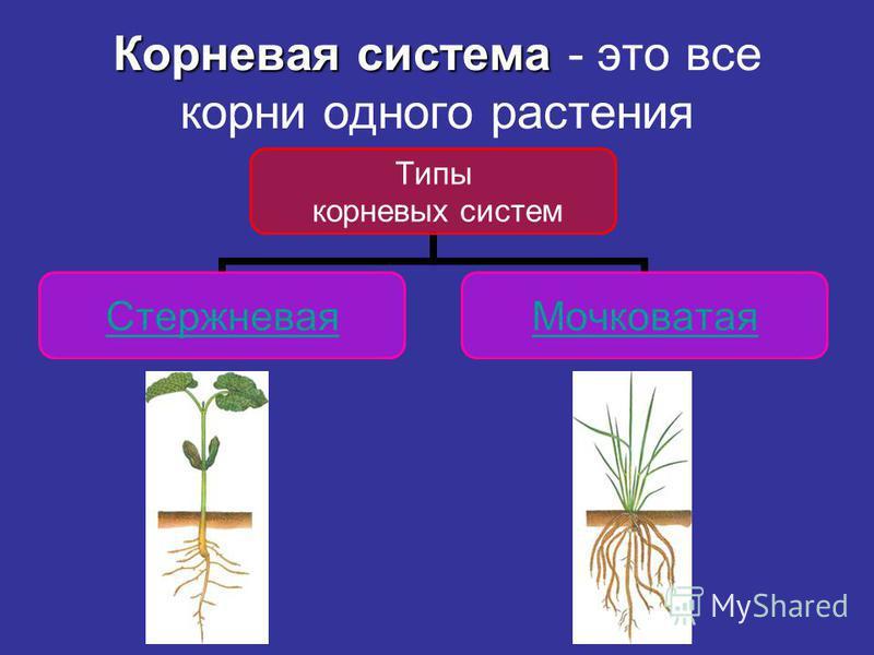 Корневая система Корневая система - это все корни одного растения Типы корневых систем Стержневая Мочковатая