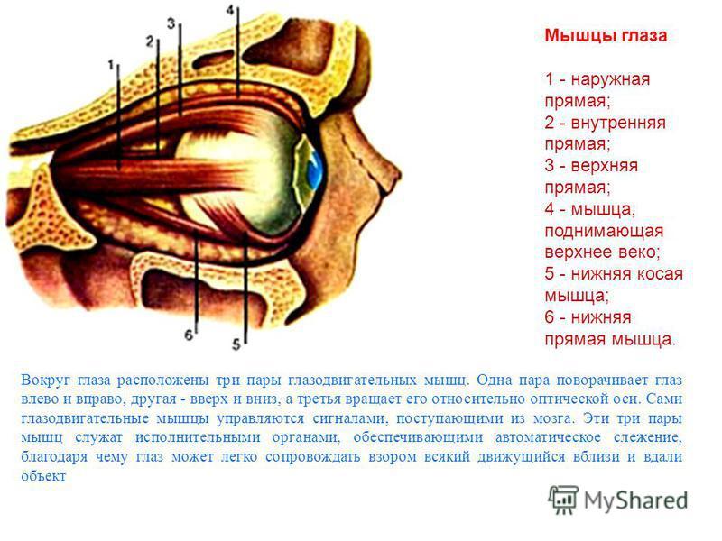 Мышцы глаза 1 - наружная прямая; 2 - внутренняя прямая; 3 - верхняя прямая; 4 - мышца, поднимающая верхнее веко; 5 - нижняя косая мышца; 6 - нижняя прямая мышца. Вокруг глаза расположены три пары глазодвигательных мышц. Одна пара поворачивает глаз вл