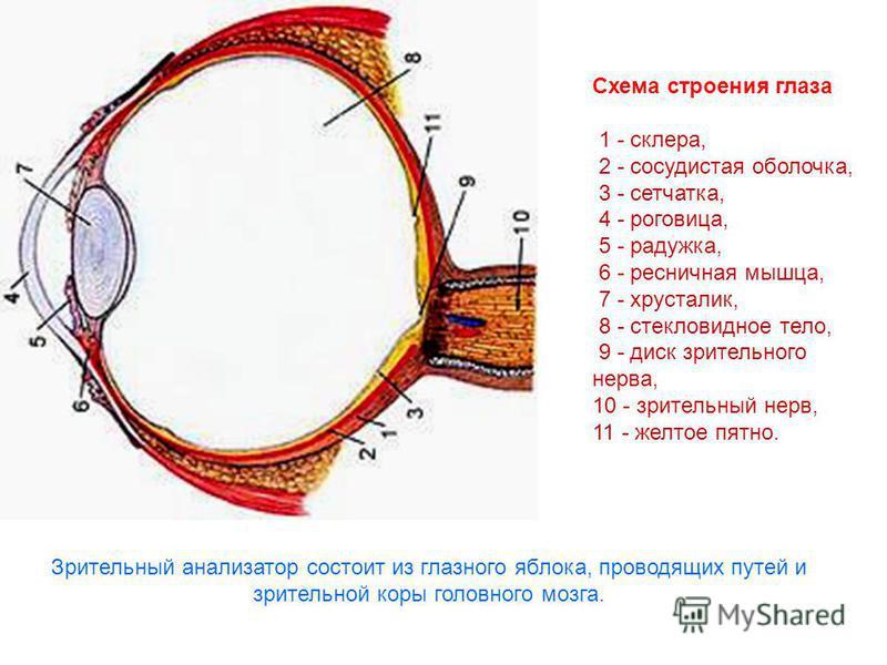 Схема строения глаза 1 - склера, 2 - сосудистая оболочка, 3 - сетчатка, 4 - роговица, 5 - радужка, 6 - ресничная мышца, 7 - хрусталик, 8 - стекловидное тело, 9 - диск зрительного нерва, 10 - зрительный нерв, 11 - желтое пятно. Зрительный анализатор с