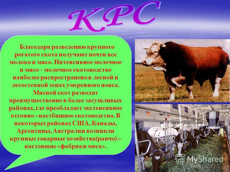 Благодаря разведению крупного рогатого скота получают почти все молоко и мясо. Интенсивное молочное и мясо - молочное скотоводство наиболее распространено в лесной и лесостепной зонах умеренного пояса. Мясной скот разводят преимущественно в более зас
