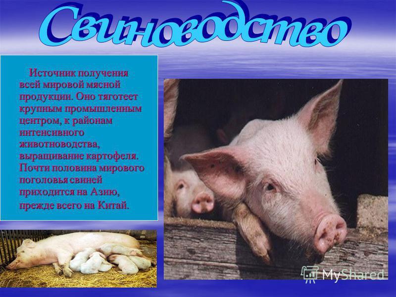 Источник получения всей мировой мясной продукции. Оно тяготеет крупным промышленным центром, к районам интенсивного животноводства, выращивание картофеля. Почти половина мирового поголовья свиней приходится на Азию, прежде всего на Китай. Источник по