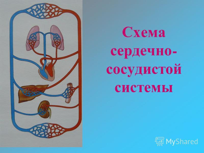 Схема сердечно - сосудистой системы