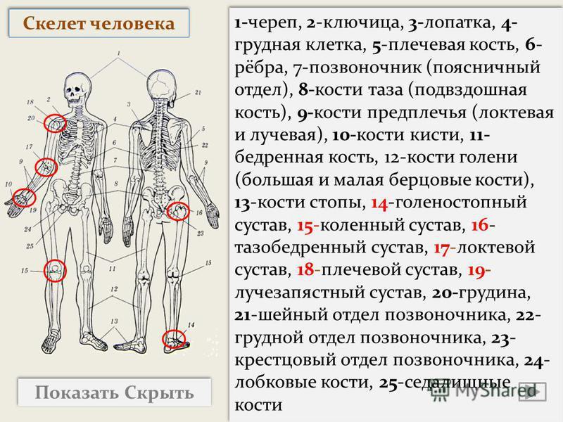 Показать Скрыть 1-череп, 2-ключица, 3-лопатка, 4- грудная клетка, 5-плечевая кость, 6- рёбра, 7-позвоночник (поясничный отдел), 8-кости таза (подвздошная кость), 9-кости предплечья (локтевая и лучевая), 10-кости кисти, 11- бедренная кость, 12-кости г