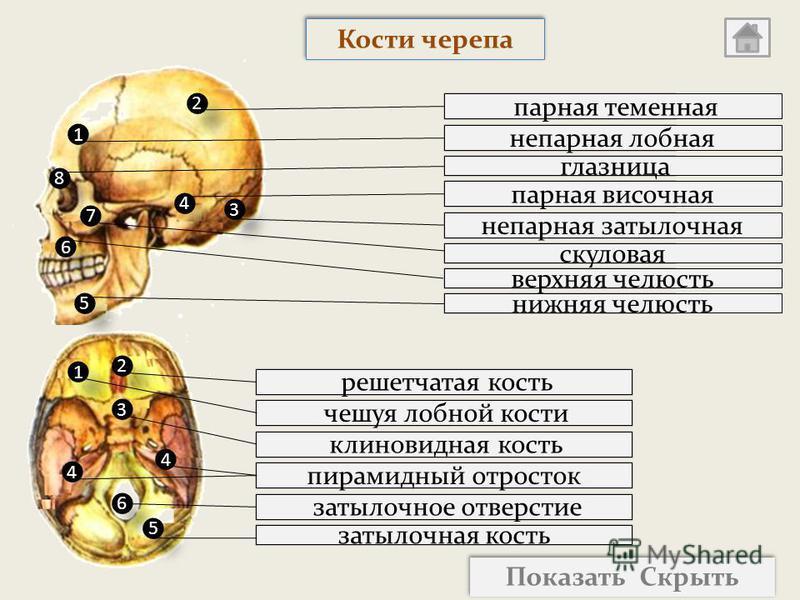 затылочная кость затылочное отверстие пирамидный отросток клиновидная кость чешуя лобной кости решетчатая кость нижняя челюсть скуловая непарная затылочная парная височная глазница парная теменная непарная лобная 2 2 1 1 3 3 8 8 4 4 5 5 6 6 7 7 2 2 3