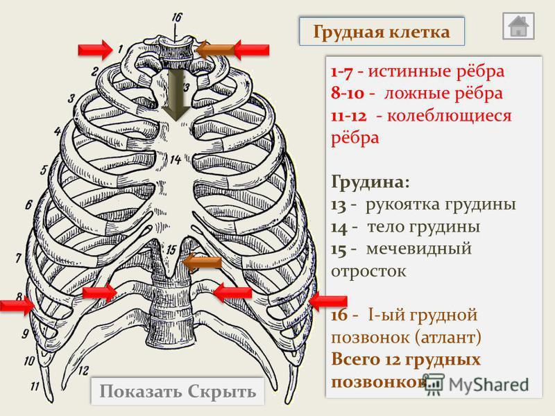 Показать Скрыть 1-7 - истинные рёбра 8-10 - ложные рёбра 11-12 - колеблющиеся рёбра Грудина: 13 - рукоятка грудины 14 - тело грудины 15 - мечевидный отросток 16 - I-ый грудной позвонок (атлант) Всего 12 грудных позвонков 1-7 - истинные рёбра 8-10 - л