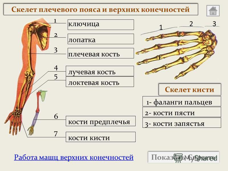 Работа мышц верхних конечностей Показать Скрыть 1 23 ключица плечевая кость лучевая кость локтевая кость кости кисти лопатка Скелет кисти 1- фаланги пальцев 2- кости пясти 3- кости запястья кости предплечья Скелет плечевого пояса и верхних конечносте