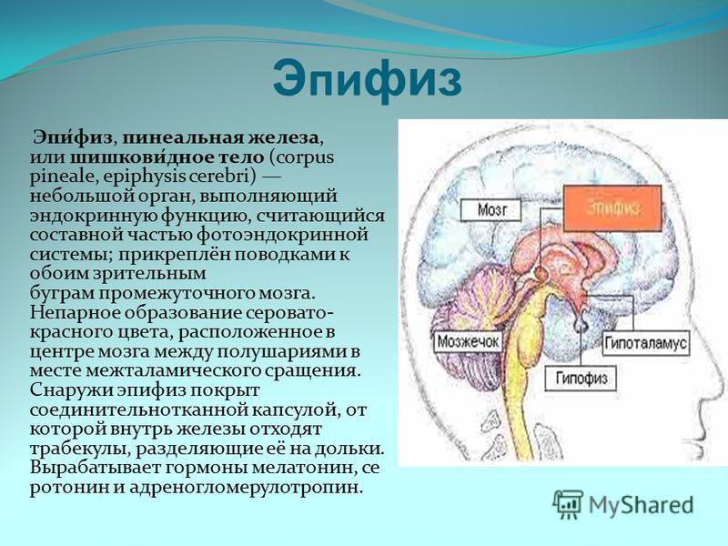 Эпифиз Эпи́физ, пинеальная железа, или шишков́юное тело (corpus pineale, epiphysis cerebri) небольшой орган, выполняющий эндокринную функцию, считающийся составной частью фото эндокринной системы; прикреплён поводками к обоим зрительным буграм промеж