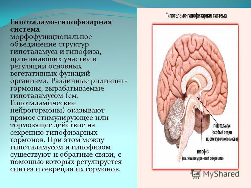 Гипоталамо-гипофизарная система морфофункциональное объединение структур гипоталамуса и гипофиза, принимающих участие в регуляции основных вегетативных функций организма. Различные рилизинг- гормоны, вырабатываемые гипоталамусом (см. Гипоталамические